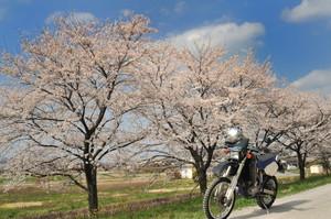 Arakawa_sakura